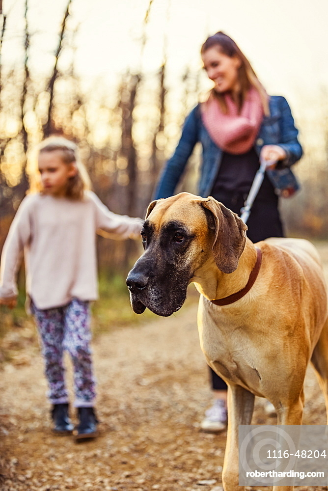 A young mom and her daughter walking their Great Dane in a park on a warm autumn evening, Edmonton, Alberta, Canada