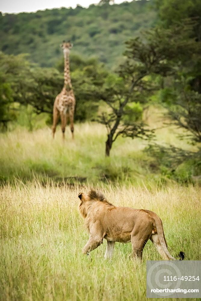 Male lion (Panthera leo) stalks Masai giraffe (Giraffa camelopardalis tippelskirchii) in savannah, Serengeti, Tanzania