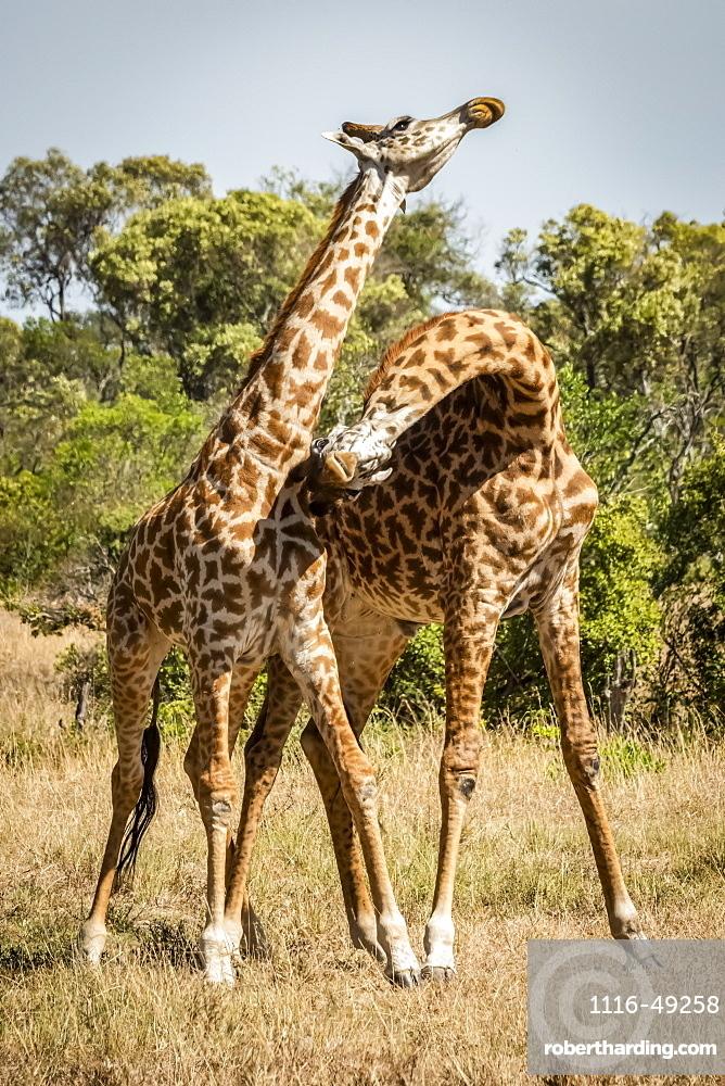 Two Masai giraffe (Giraffa camelopardalis tippelskirchii) stand necking on savannah, Serengeti, Tanzania
