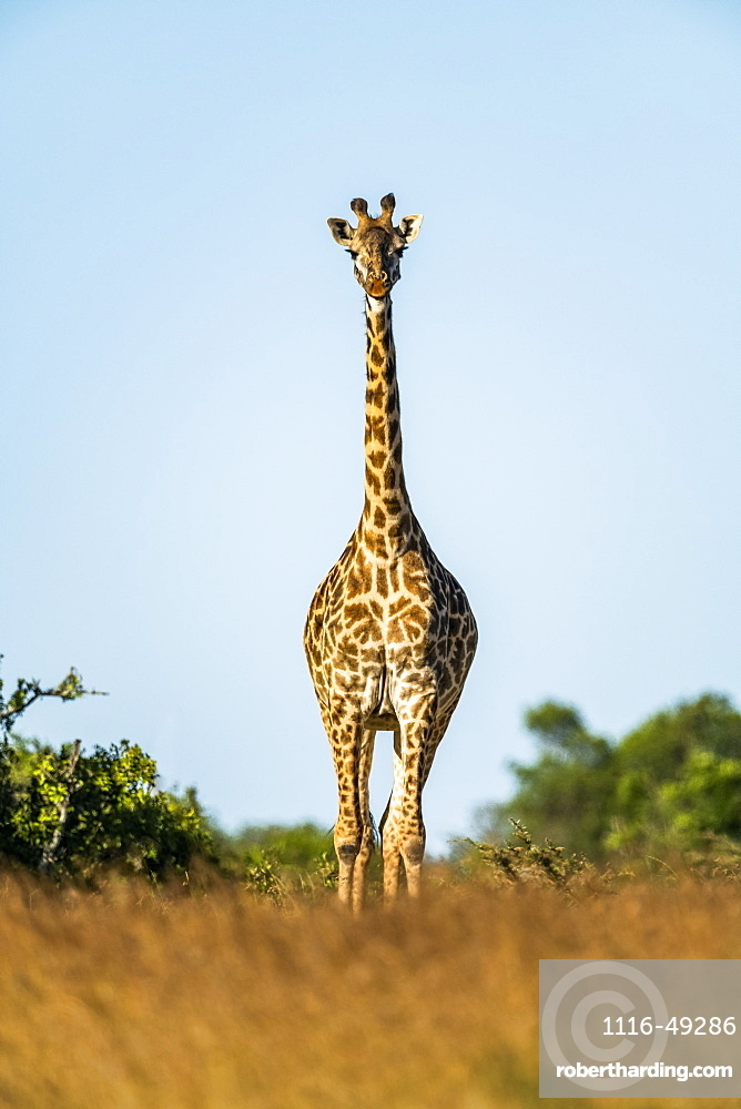 Masai giraffe (Giraffa camelopardalis tippelskirchii) stands facing camera on horizon, Serengeti, Tanzania