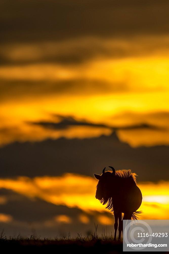 Blue wildebeest (Connochaetes taurinus) stands on sunset horizon silhouetted, Serengeti, Tanzania