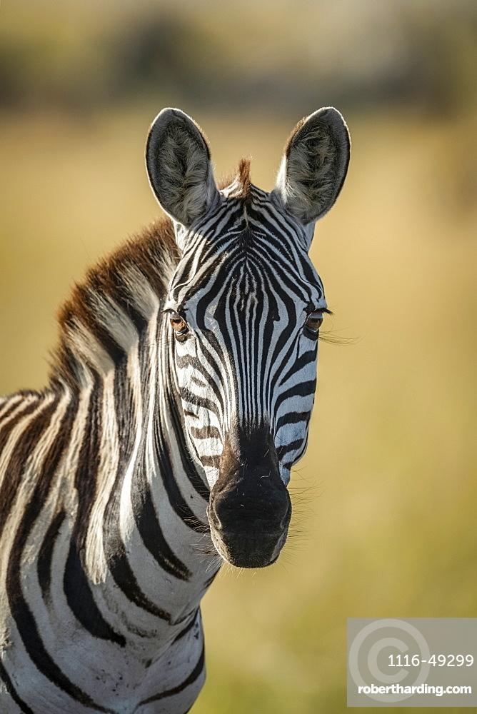 Close-up of plains zebra (Equus quagga) looking at camera, Serengeti, Tanzania