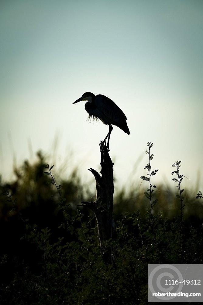 Black-headed heron (Ardea melanocephala) stands on stump in silhouette, Serengeti, Tanzania