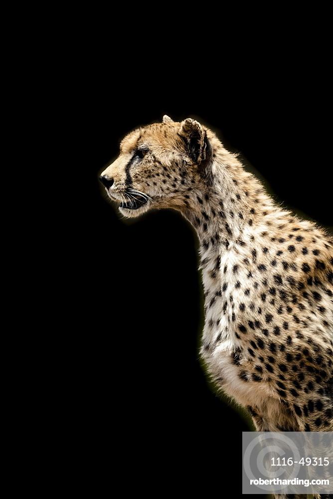 Close-up of female cheetah (Acinonyx jubatus) with black background, Serengeti, Tanzania