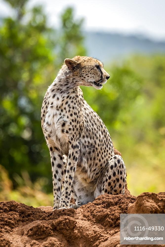 Cheetah (Acinonyx jubatus) sits looking round on termite mound, Serengeti, , Tanzania