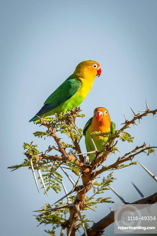Two Fischer's lovebirds (Agapornis fischeri) perched in thorn tree, Serengeti, Tanzania