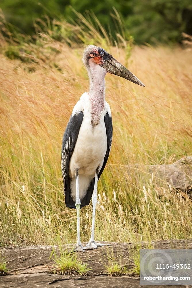 Marabou stork (Leptoptilos crumenifer) stands on rock turning head, Serengeti, Tanzania