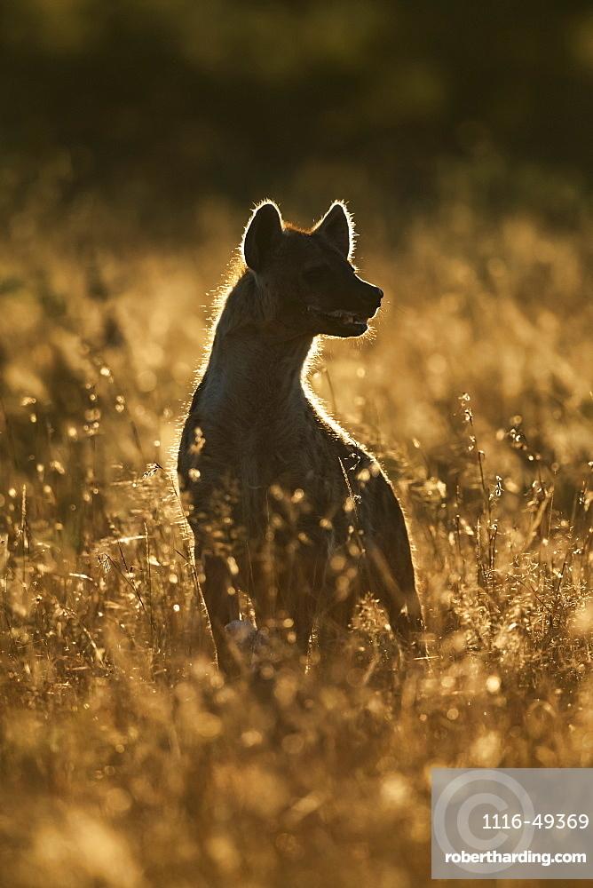 Rimlit spotted hyena (Crocuta crocuta) sitting in long grass, Serengeti, Tanzania