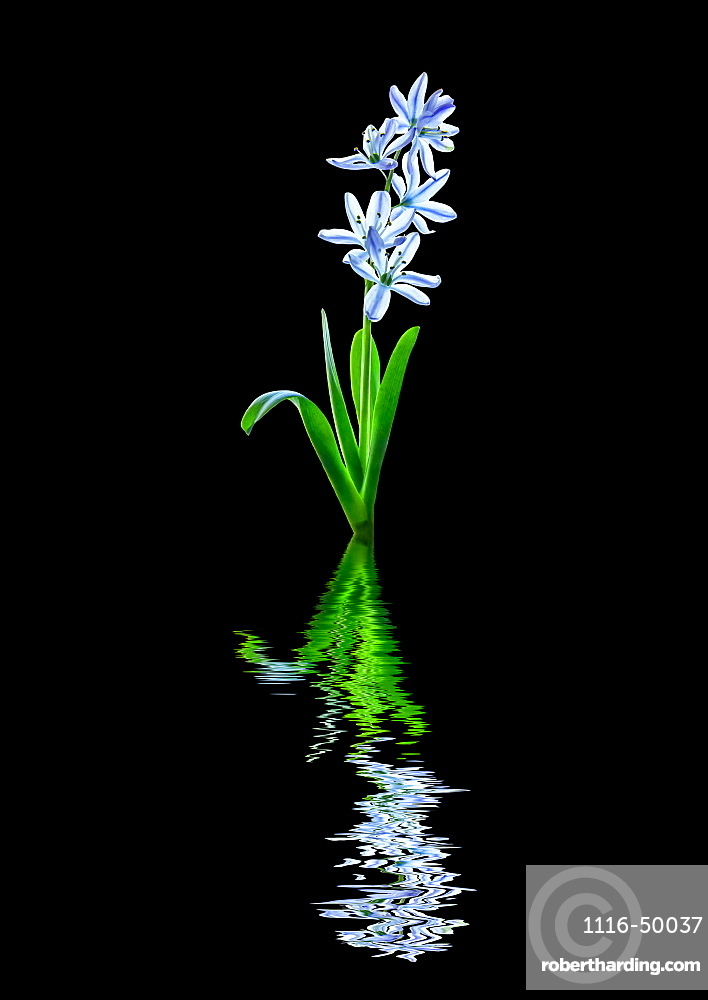 Art style image of white and purple tulip 'Rembrandt' reflected in water; Studio