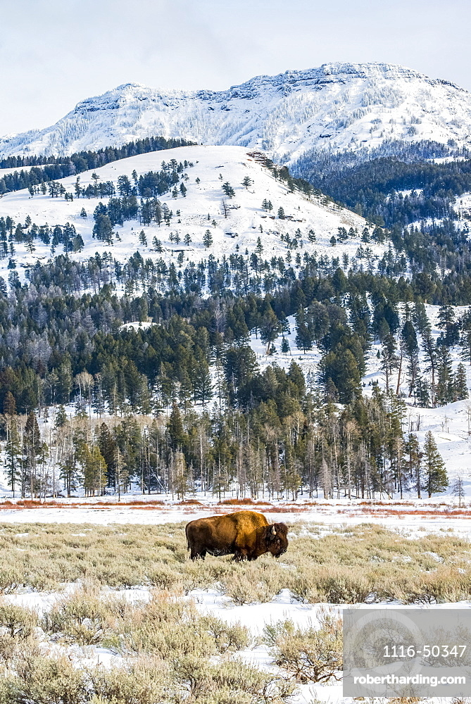 American Bison (Bison bison) grazing in a snowy meadow beneath majestic mountain peaks in Yellowstone National Park; Wyoming, United States of America