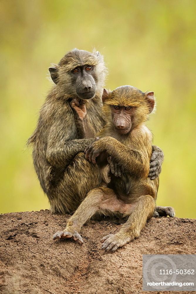 Olive baboon (Papio anubis) sits cuddling baby on bank, Grumeti Serengeti Tented Camp, Serengeti National Park; Tanzania