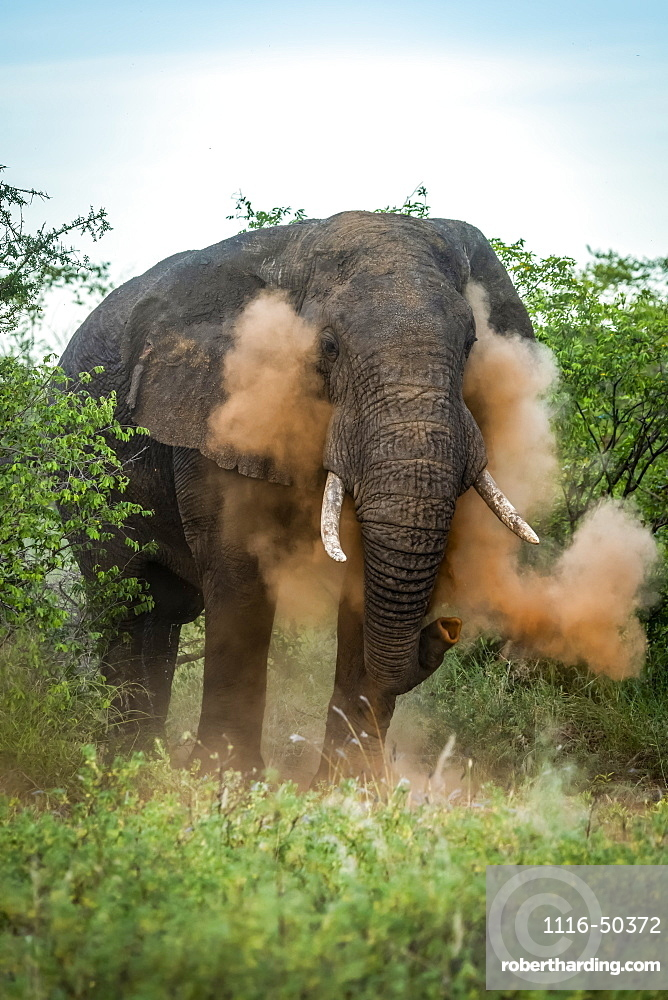 Male African bush elephant (Loxodonta africana) has dust bath, Grumeti Serengeti Tented Camp, Serengeti National Park; Tanzania