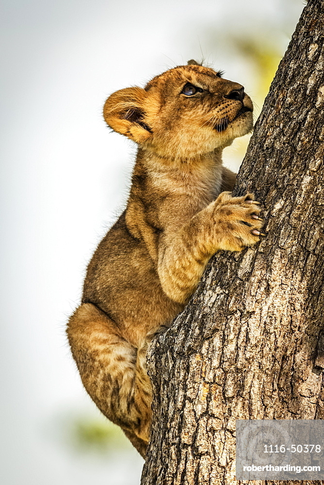 Lion cub (Panthera leo) clutches tree trunk looking up, Grumeti Serengeti Tented Camp, Serengeti National Park; Tanzania