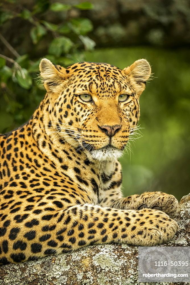 Close-up of leopard (Panthera pardus) on branch facing right, Cottar's 1920s Safari Camp, Maasai Mara National Reserve; Kenya