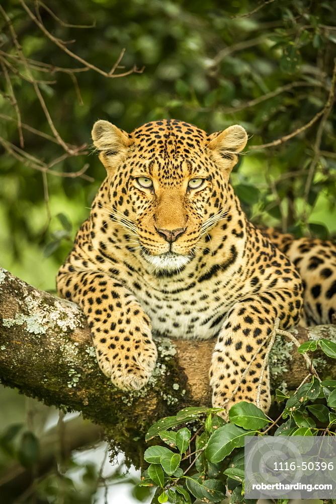 Close-up of leopard (Panthera pardus) facing camera on branch, Cottar's 1920s Safari Camp, Maasai Mara National Reserve; Kenya