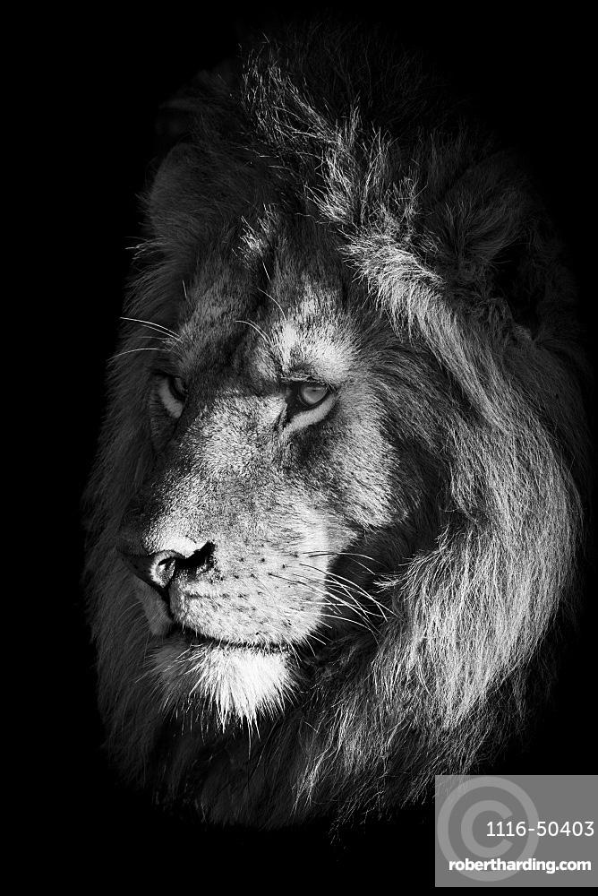 Monochrome close-up of lion (Panthera leo) face in shadows, Klein's Camp, Serengeti National Park; Tanzania