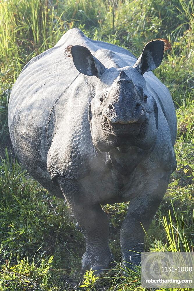 Indian rhinoceros (Rhinoceros unicornis) in elephant grass, Kaziranga National Park, Assam, India, Asia
