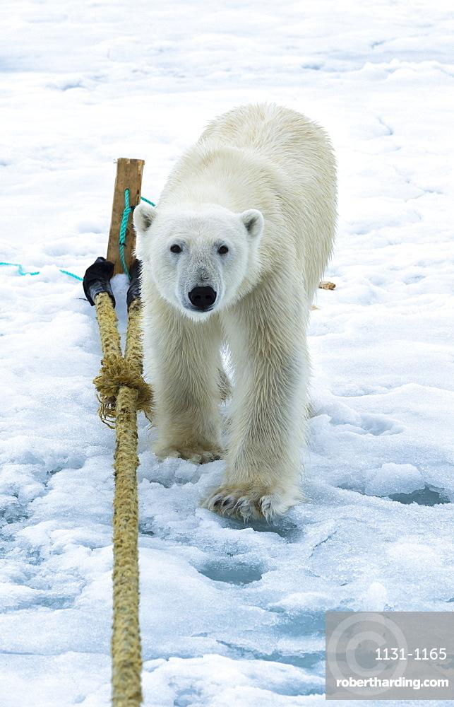 Polar Bear (Ursus maritimus) inspecting the pole of an expedition ship, Svalbard Archipelago, Arctic, Norway, Europe