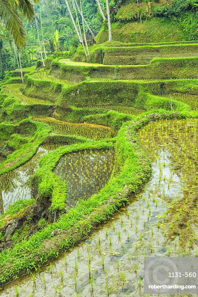 Tegallalang rice terraces, Ubud, Bali, Indonesia, Southeast Asia, Asia