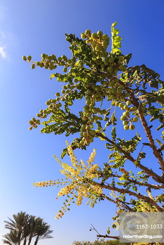 Frankincense tree (Boswellia sacra), Museum of Frankincense Land, Al-Baleed, UNESCO World Heritage Site, Salalah, Dhofar, Oman, Middle East