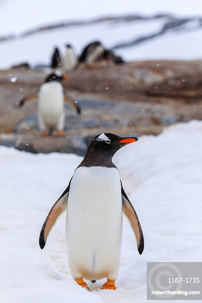 Gentoo penguin (Pygoscelis papua) in snow, colony behind, Damoy Point, Wiencke Island, Antarctic Peninsula, Antarctica, Polar Regions