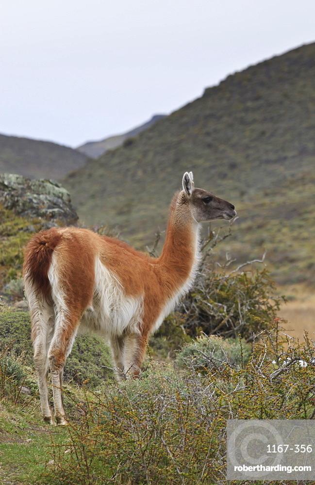 Alert guanaco (Lama guanicoe), Torres del Paine National Park, Patagonia, Chile, South America