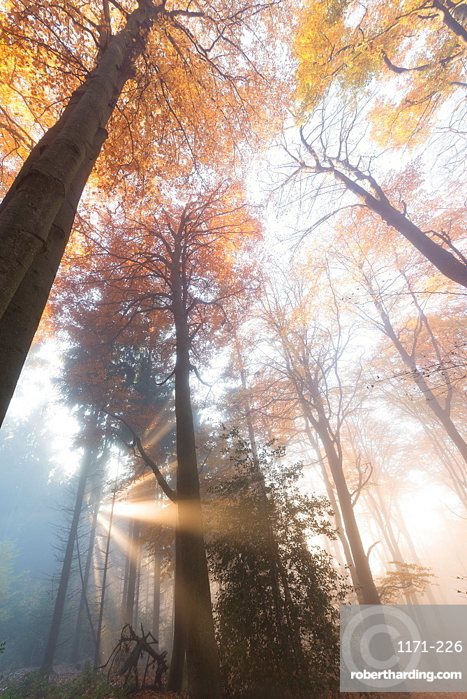Light rays in a misty German forest in autumn, Baden-Wurttemberg, Germany, Europe