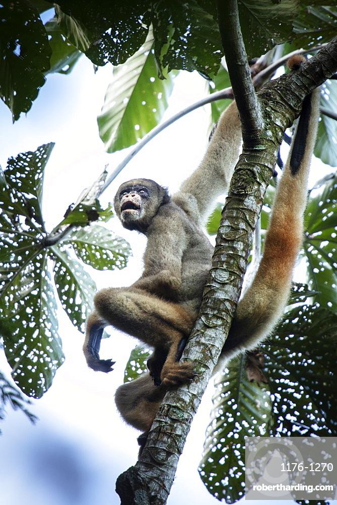 Critically endangered Northern Muriqui or woolly spider monkey (Brachyteles hypoxanthus) in Brazil's Atlantic coastal rainforest