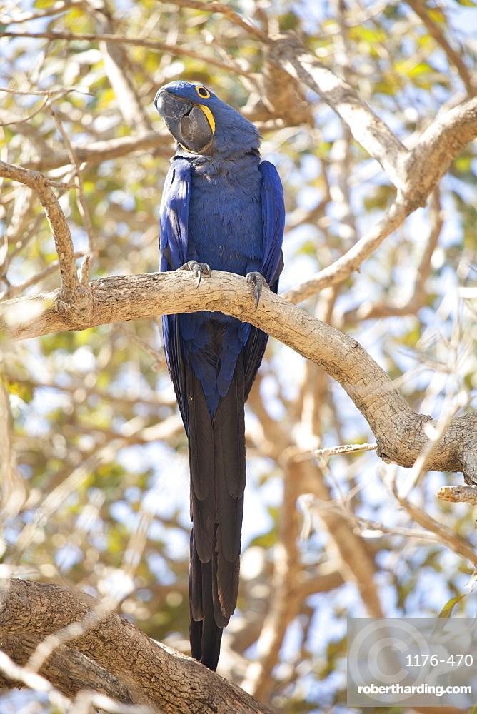 Hyacinth macaw (Anodorhynchus hyacinthinus) (hyacinthine macaw), Brazil, South America