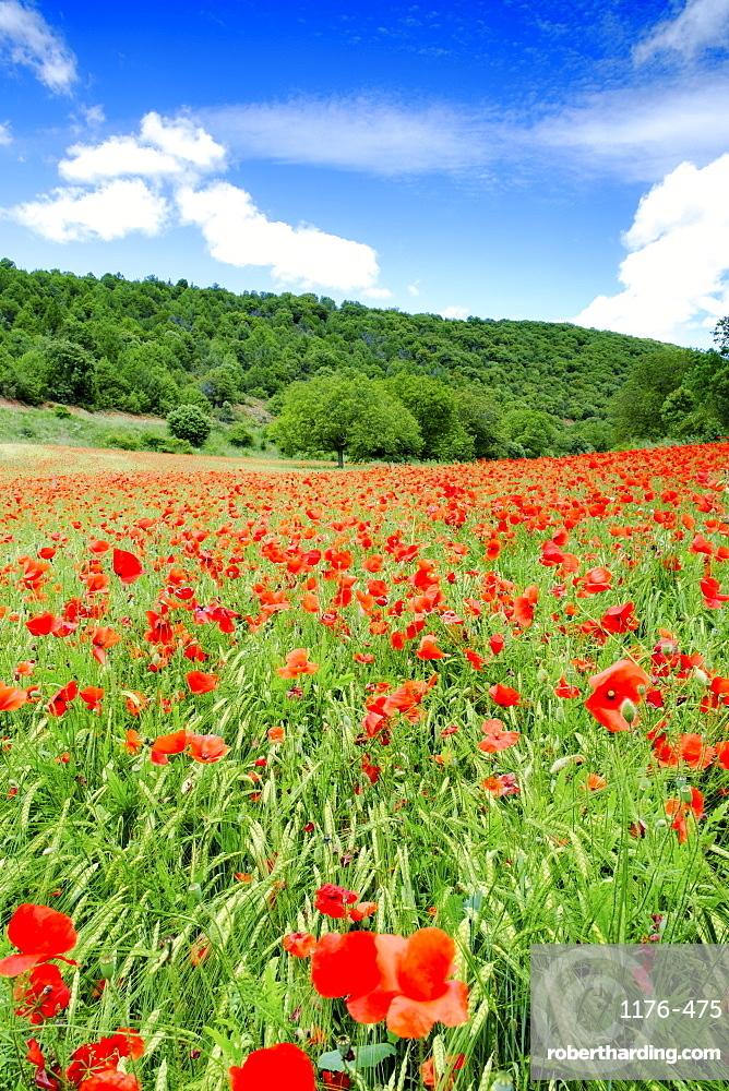 Poppy fields near Covarrubias, Castile and Leon, Spain, Europe