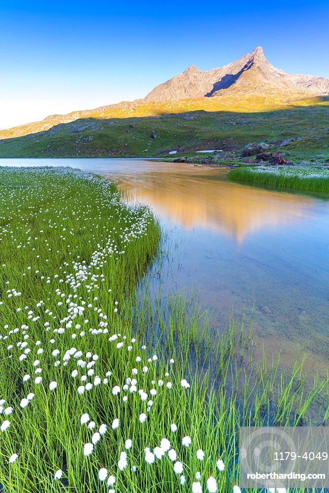Sunrise over Monte Gavia and cotton grass on shores of Lago Bianco, Gavia Pass, Valfurva, Valtellina, Lombardy, Italy