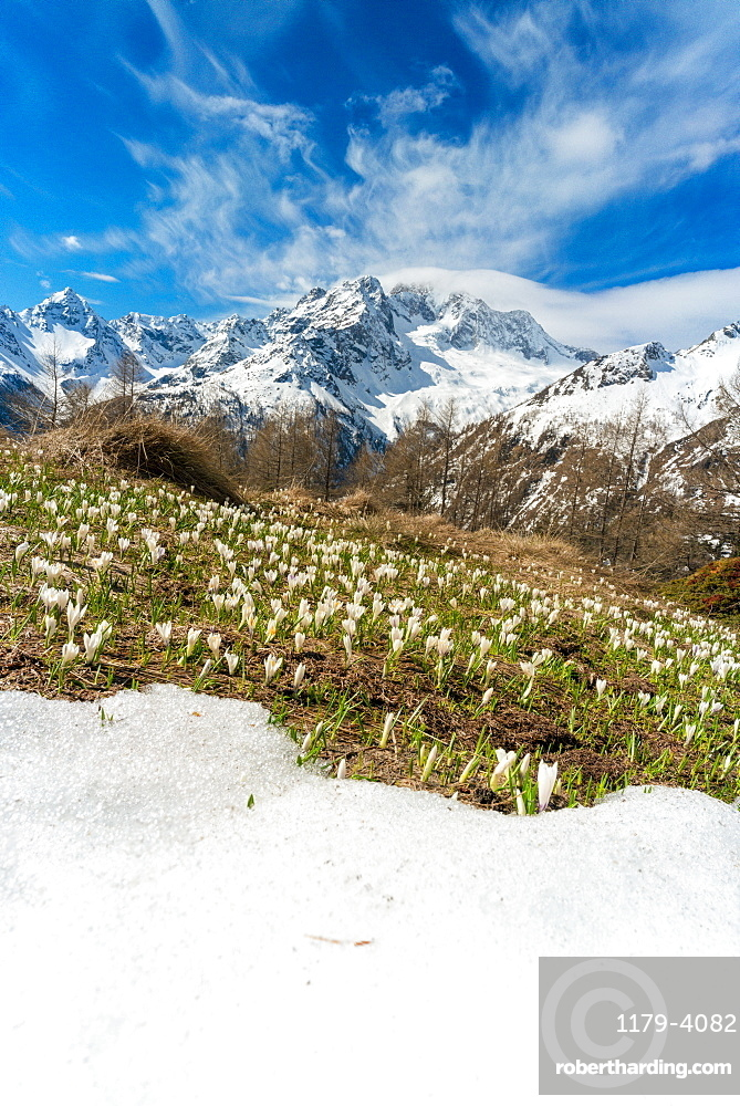 Crocus in bloom during spring, Alpe Oro, Valmalenco, Valtellina, Sondrio province, Lombardy, Italy