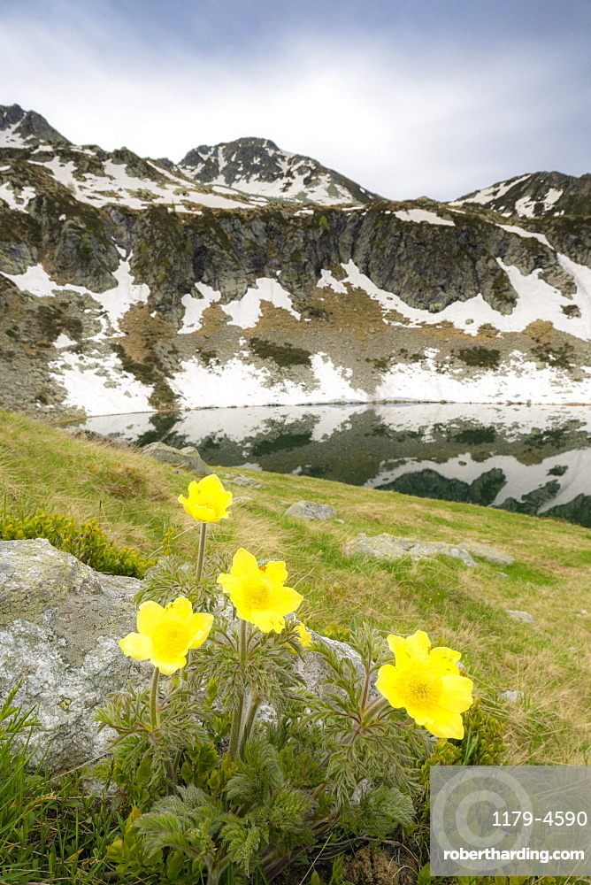Yellow flowers during the spring bloom surrounding Porcile Lakes, Tartano Valley, Valtellina, Sondrio province, Lombardy, Italy