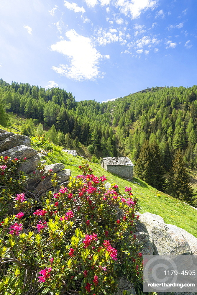 Rhododendrons in bloom surrounding huts and woods, Porcile Lakes, Tartano Valley, Valtellina, Sondrio province, Lombardy, Italy