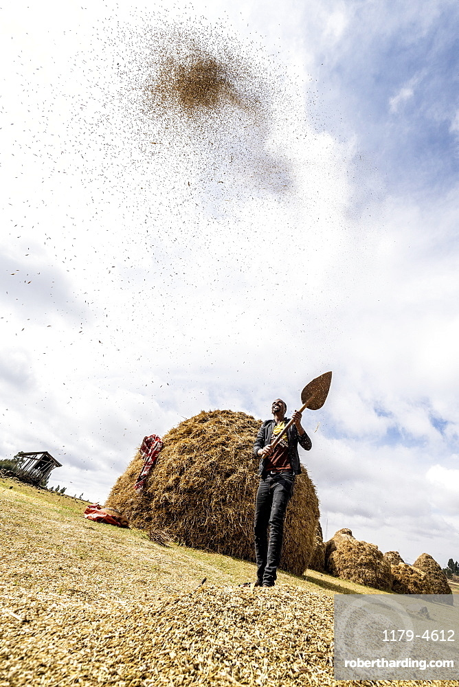 Man throwing wheat up in the air during the threshing, Wollo Province, Amhara Region, Ethiopia, Africa
