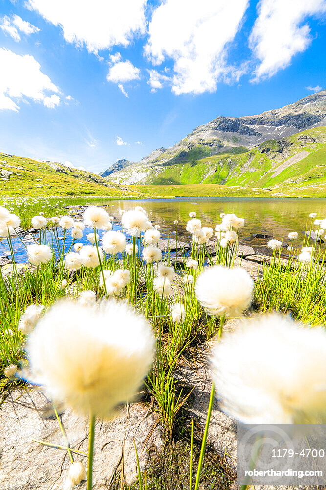 Cotton grass flowers in bloom on shores of Baldiscio lakes, Val Febbraro, Valchiavenna, Vallespluga, Lombardy, Italy