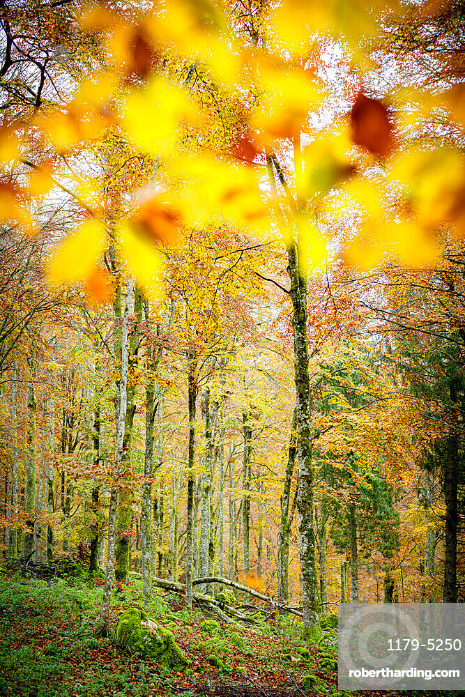 Autumn colors in the lush forest of Cansiglio, Treviso province, Veneto, Italy