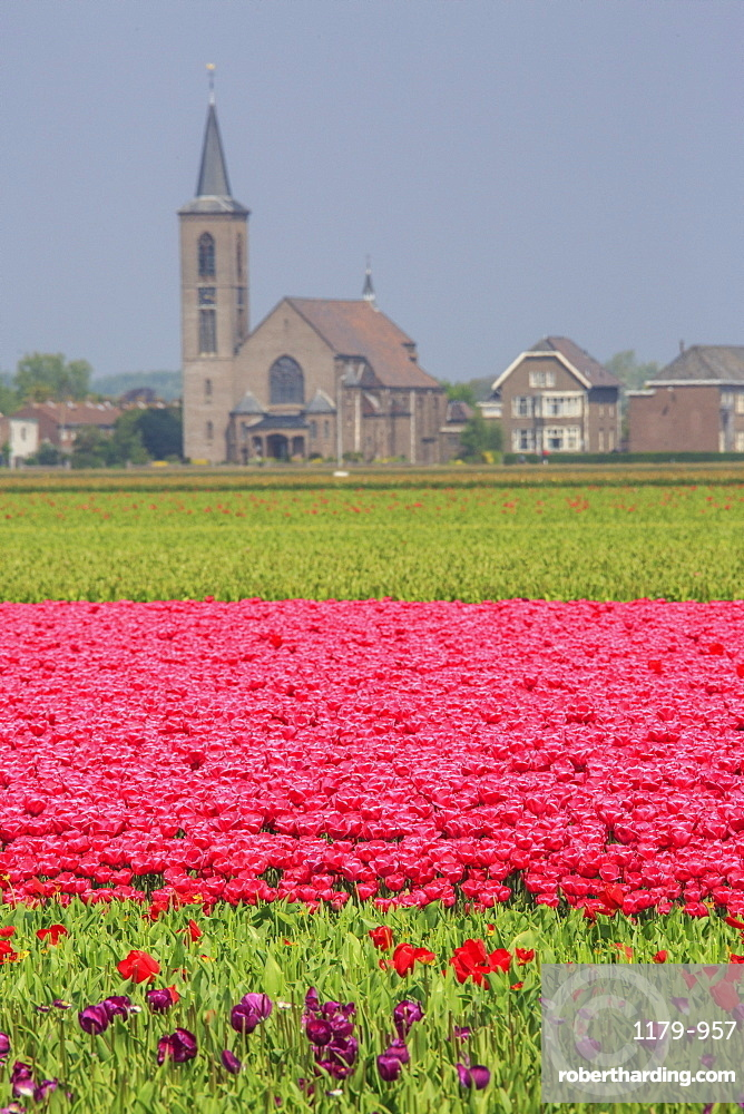 Fields of tulips colour the landscape and frame the village in background, Keukenhof Park, Lisse, South Holland, Netherlands, Europe