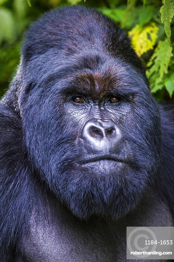 Silverback Mountain gorilla (Gorilla beringei beringei) in the Virunga National Park, UNESCO World Heritage Site, Democratic Republic of the Congo, Africa
