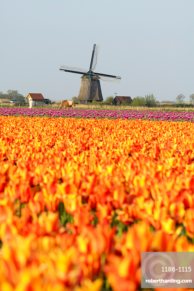 Tulip fields and Windmill, Lisse, South Holland, The Netherlands, Europe