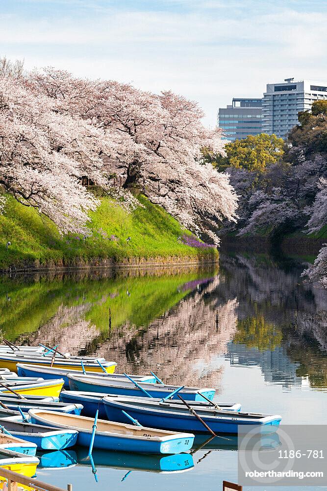 Cherry blossoms at Chidorigafuchi moat