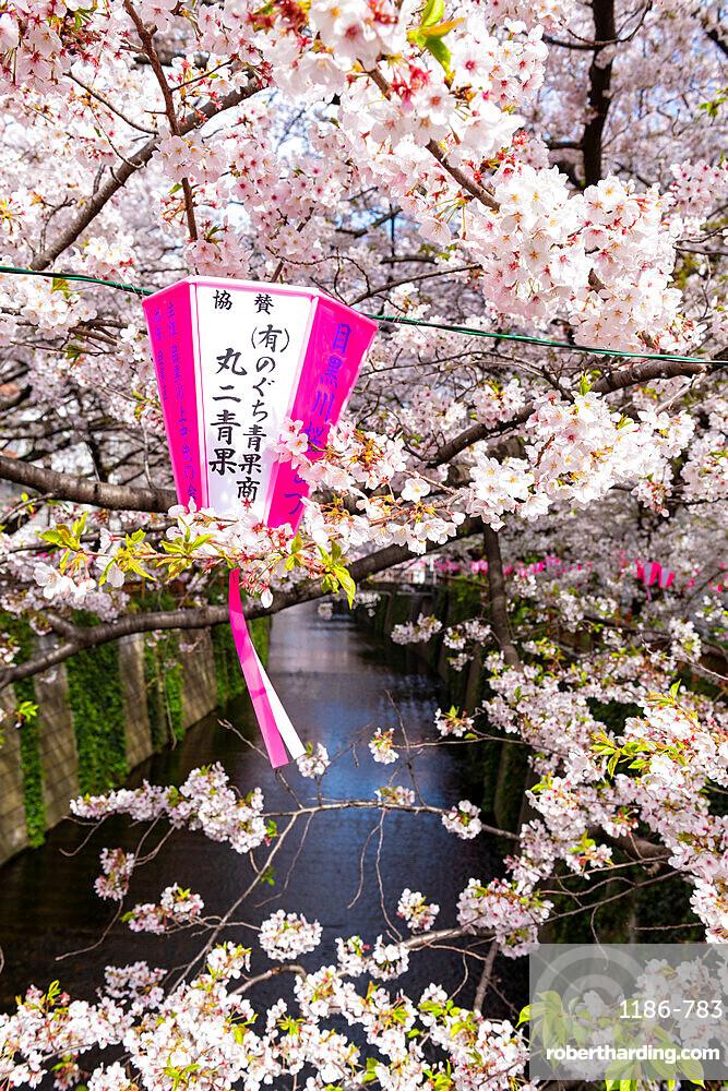 Meguro River during cherry blossom