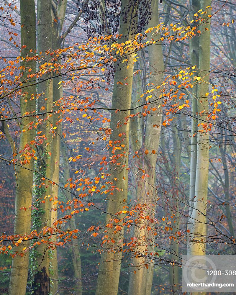 Common beech (Fagus sylvatica) trees, autumn colour, King's Wood, Challock, Kent, England, United Kingdom, Europe