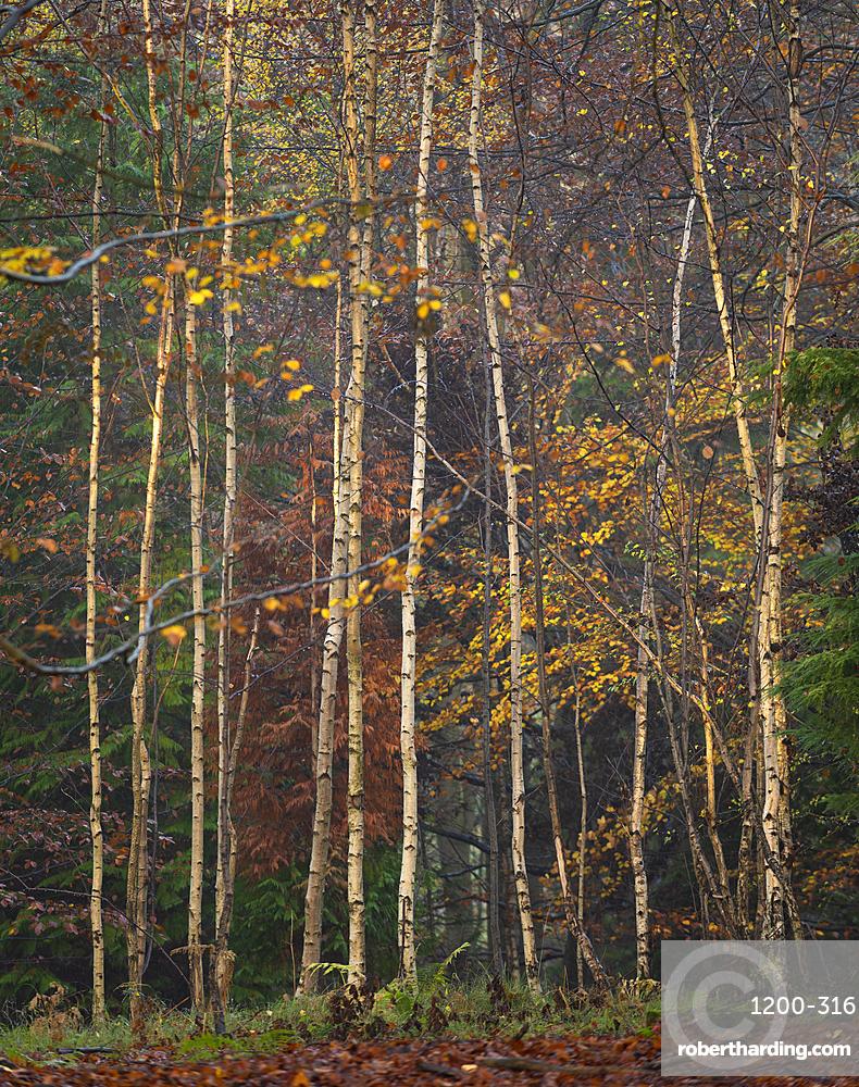 Silver birch (Betula pendula) trees, autumn colour, King's Wood, Challock, Kent, England, United Kingdom, Europe