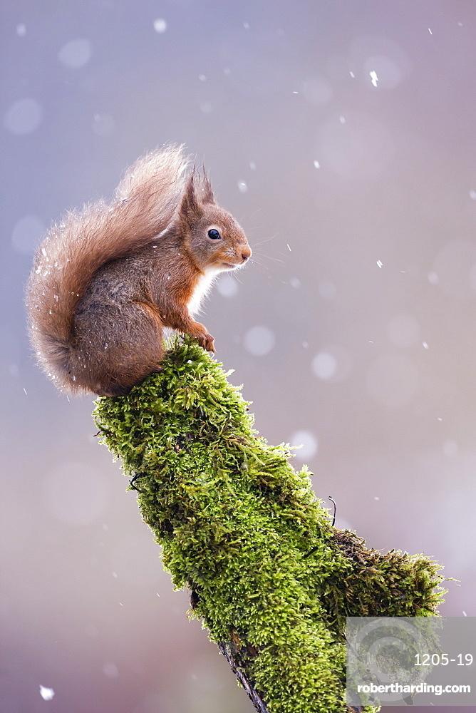 Red squirrel (Sciurus vulgaris) sitting in falling snow, Yorkshire Dales, Yorkshire, England, United Kingdom, Europe