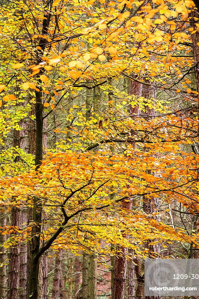 Trees in autumn, Gragg Vale, Calder Valley, Yorkshire, England, United Kingdom, Europe