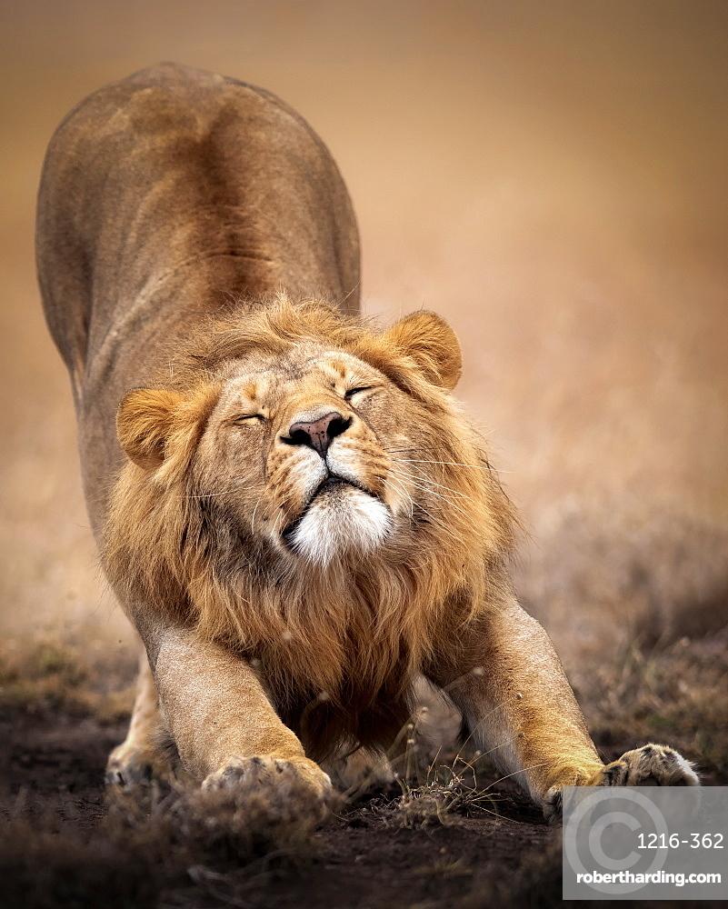 Sleepy male lion stretching in the Masai Mara, Kenya, East Africa, Africa