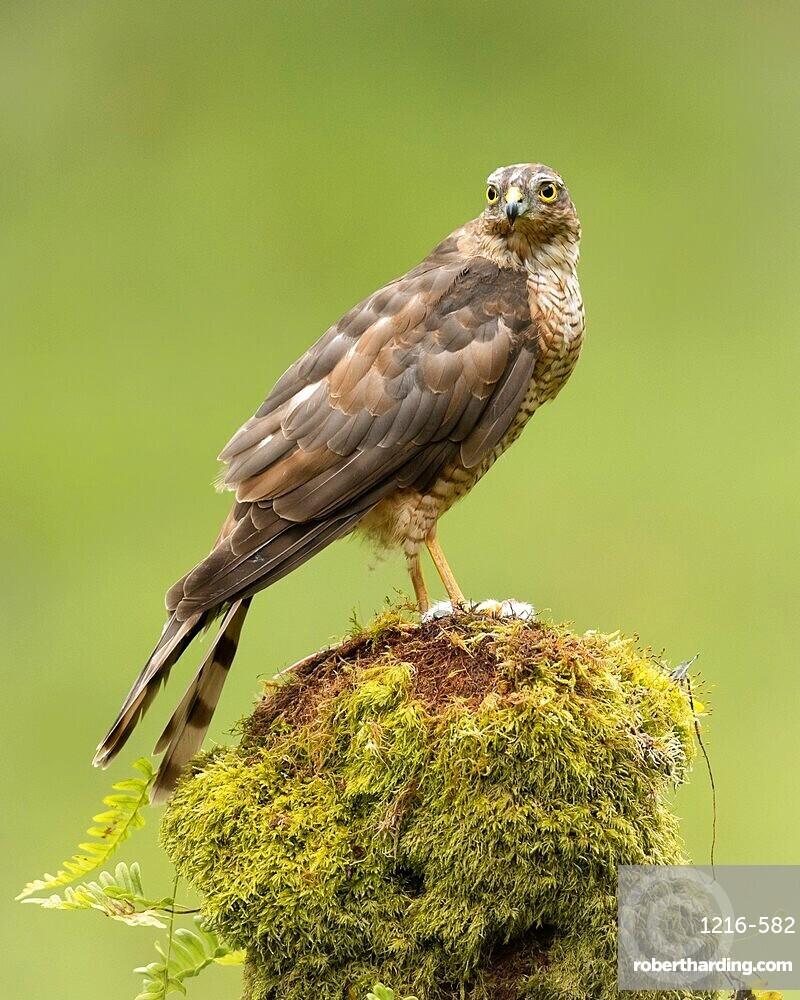 Sparrowhawk on moss covered tree, Scotland, United Kingdom