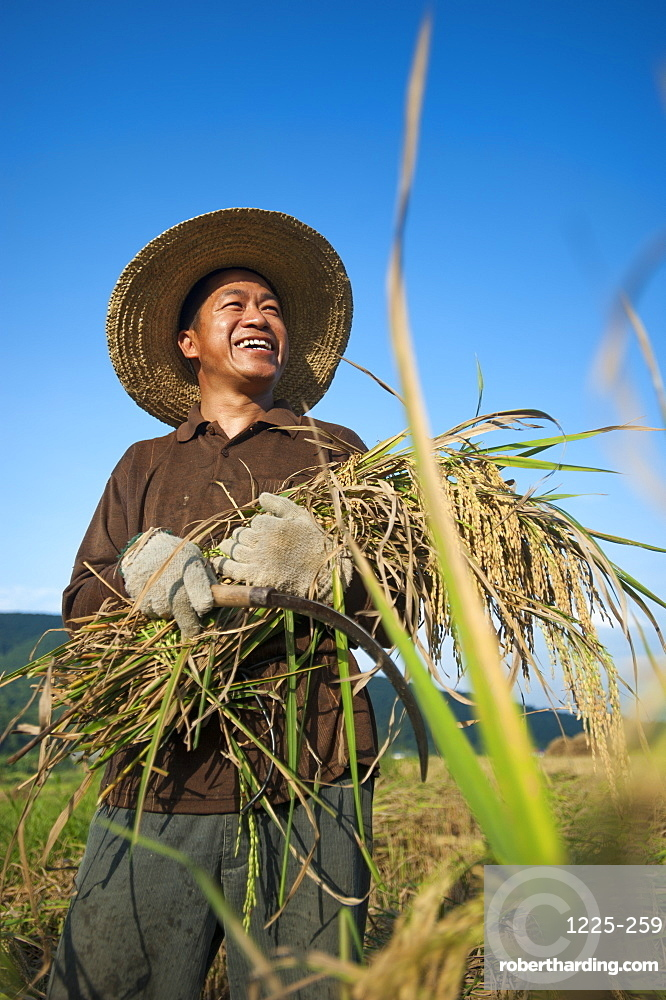 A man holds a bundle of freshly harvested rice in the southern Yunnan Province, China, Asia
