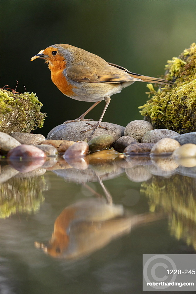 Robin reflected in a garden pond, York, North Yorkshire, England, United Kingdom, Europe